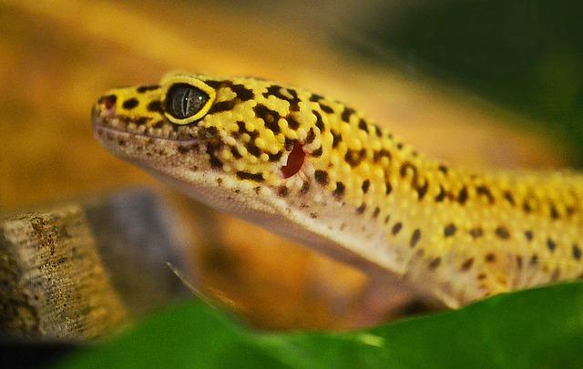 Leopardgecko Inkubator Reptilien