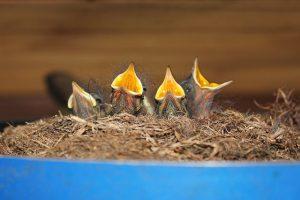 Brutapparat kaufen Vogelbrut