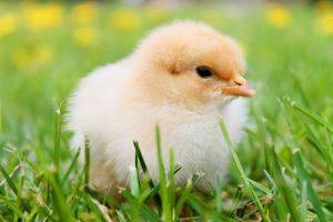 Brutmaschine kaufen Huhn