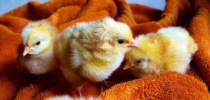 Hühnereier ausbrüten Hühnerküken