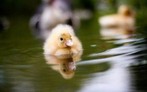 Küken auf dem Wasser