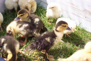 Enteneier ausbrüten kleine Enten auf der Wiese