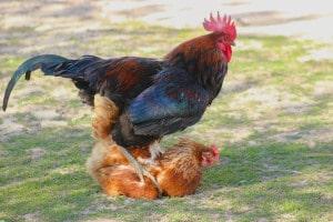 Tretakt Hühner