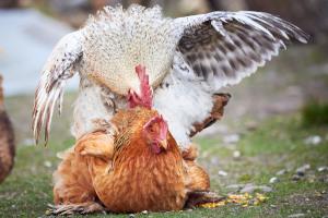 Tretakt Hahn und Henne